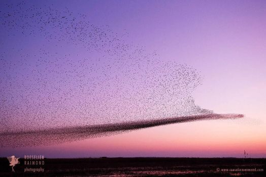 Starling Murmuration by thrumyeye