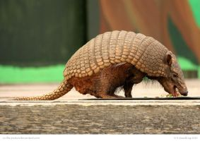 Hungry Armadillo by In-the-picture