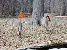 Deer  i saw at ojibway pic 4 by catsvsfox