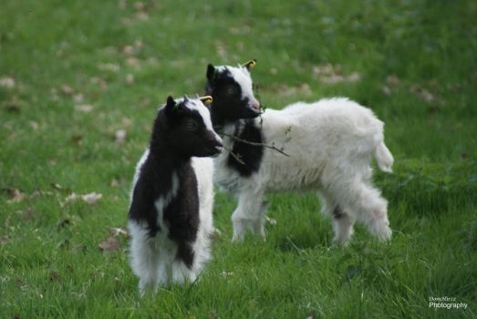 Spring Lambs by little--grasshopper
