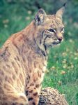 Bobcat by ColdEdge