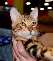 Bengal Cat II by IsabellaNY