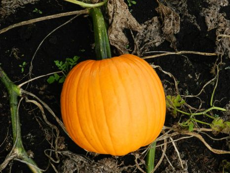 punkin by wroquephotography