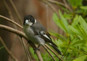 Butcher bird by jakwak