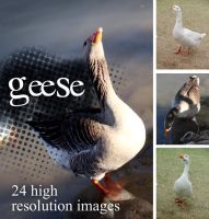 Geese.001 by NoRulesStock