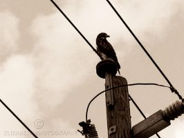 Chicken Hawk by DrowningSignificance