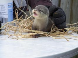 Baby Otter by LottyTheCat