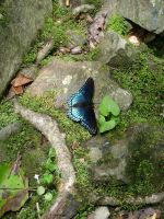 Blue Butterfly 1 by creativenature-stock