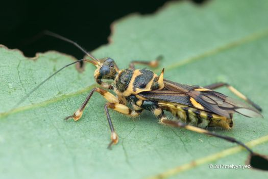 Assassin bug (Inara flavopicta) by melvynyeo