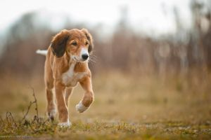 saluki puppy by Wolfruede