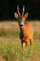 Blind roe deer by JMrocek