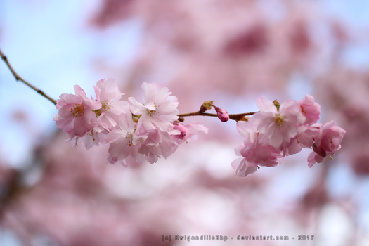 Beautiful Sakura flower by EwigandLilo2hp