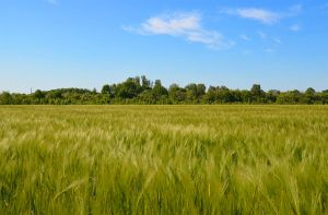 sky and wheat by sys66