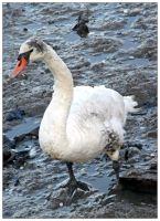 Adult Mute Swan 003 (14.11.13) by LacedShadowDiamond