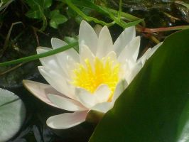 another waterlily by ingeline-art