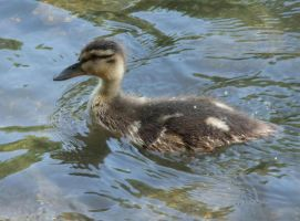 Duckling by Effielectric