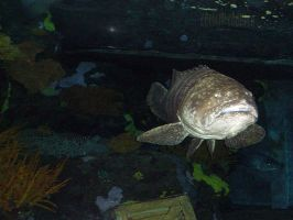 Grouper1 by nitch-stock