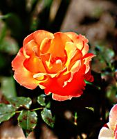 orange rose 02 by glad2626
