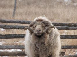 Ram on a Winter Morning by The-Lady-Morana
