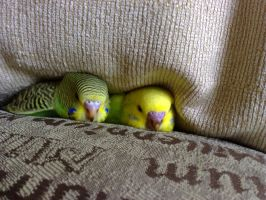 My Baby Budgies by raptiye
