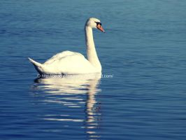 Swan by UnrehearsedSplendour