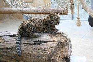Jaguar baby by Silverwing9960