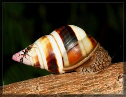 Florida Tree Snail 40D0001109 by Cristian-M