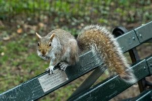Squirrel by Anto2b