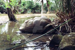 Giant Tortoise sleep by poshbeck