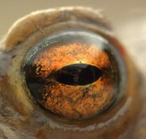 Eye of the anuran by cathy001