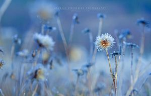 Frosty Flower by Stridsberg