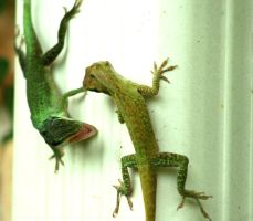 lizard brawl by TlCphotography730