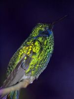 humming bird at rest by mohaganbev