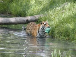 Tiger in the water by allykat