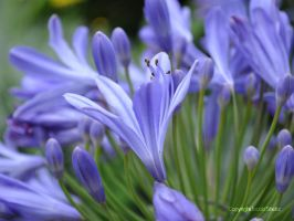 Blue flowers by Shultzy