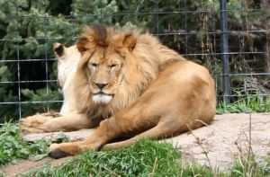 Tautphaus Zoo 51 Lions by Falln-Stock