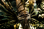 lionfish. by rebel-superfreak