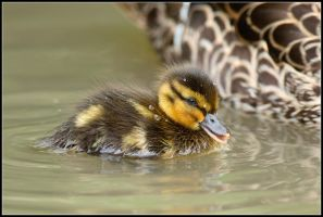 Fuzzy Duck IV by nitsch