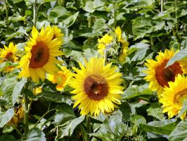 Bees mit Sunflowers by sscarpaci