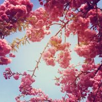 Cherry tree by SweetSophie