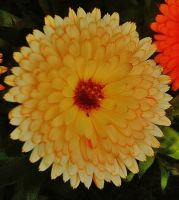 shades of orange marigolds by IamNasher