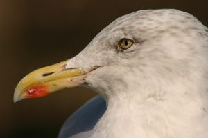 Seagull Closeup by FoxStox