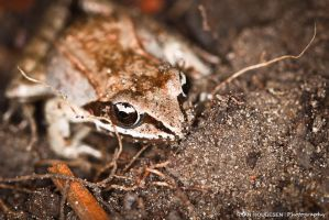 Wood Frog by RyBH