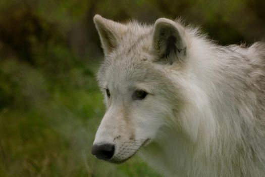 Wolf Face by Golphee