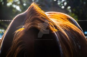 chestnut horse back sunset light by dressageart13