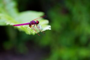Dragon Fly - Red - 20140803 - 00022 by TomFawls