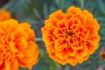 African Marigold (Tagetes) by ScottEKPhoto