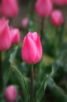 Pink Bud 10139771 by StockProject1