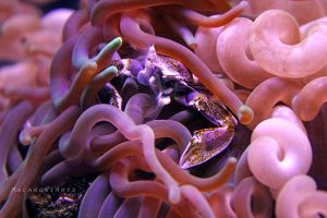 Crab in an Anemone by thebreat