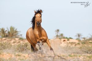 Amazing barb stallion Kalife by lifaya